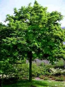 Orto botanico associazione a querceto for Acero riccio