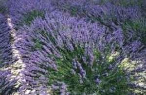 Orto botanico for Arbusti profumati da giardino