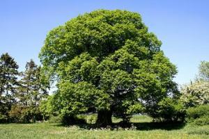 Orto botanico associazione a querceto for Tiglio albero